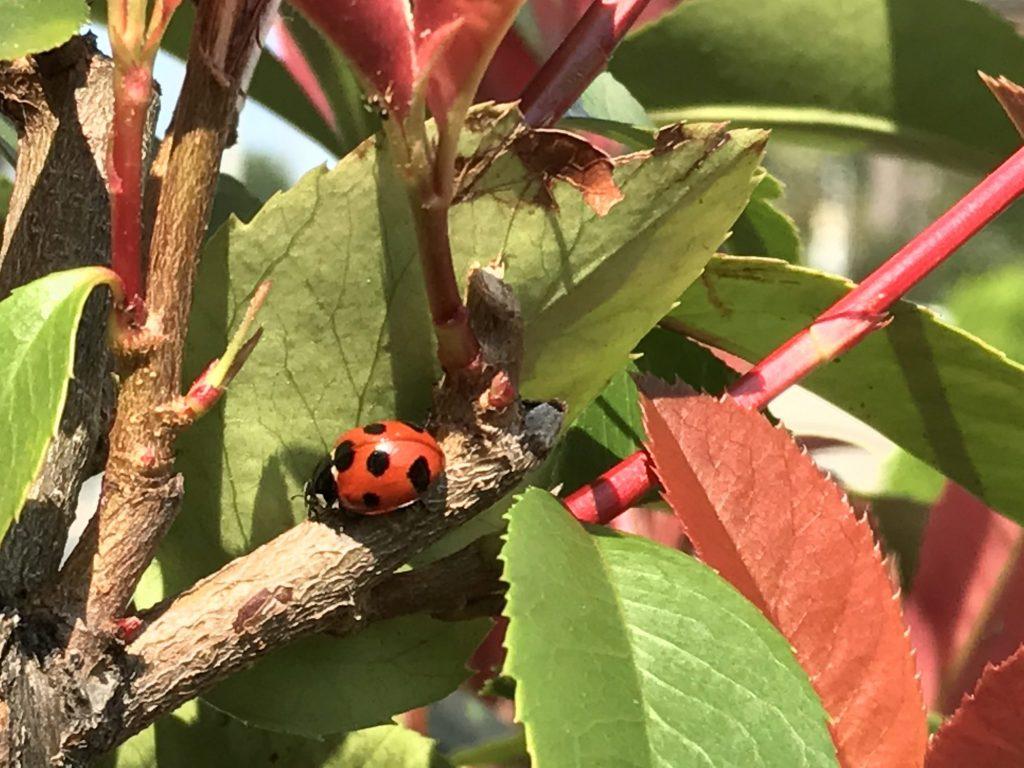 枝の上のてんとう虫
