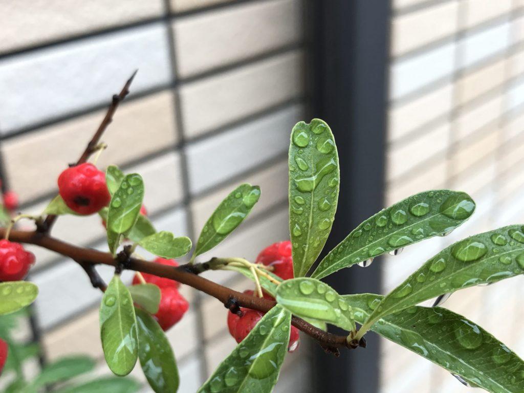 木の枝と赤い実と水滴