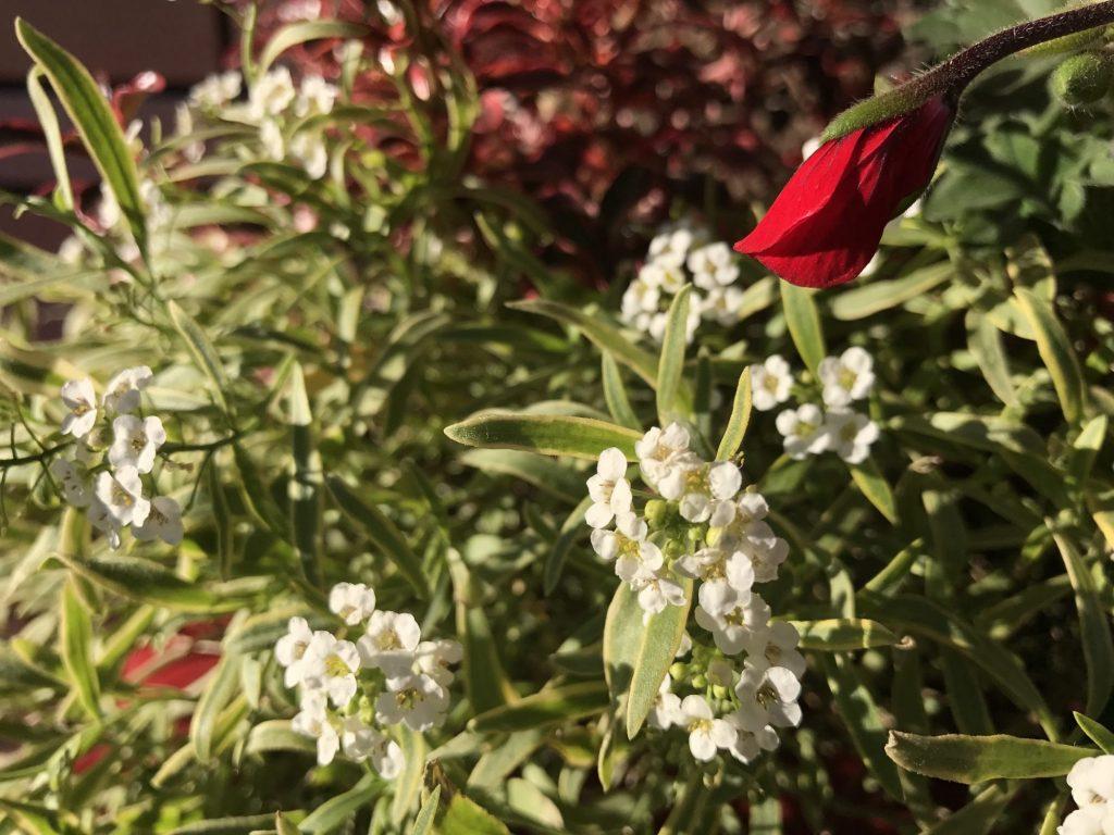 白いお花と赤いお花のつぼみ