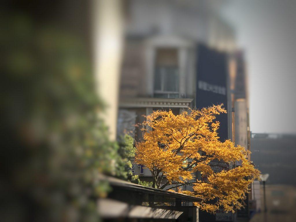 黄色に色づいたイチョウの木