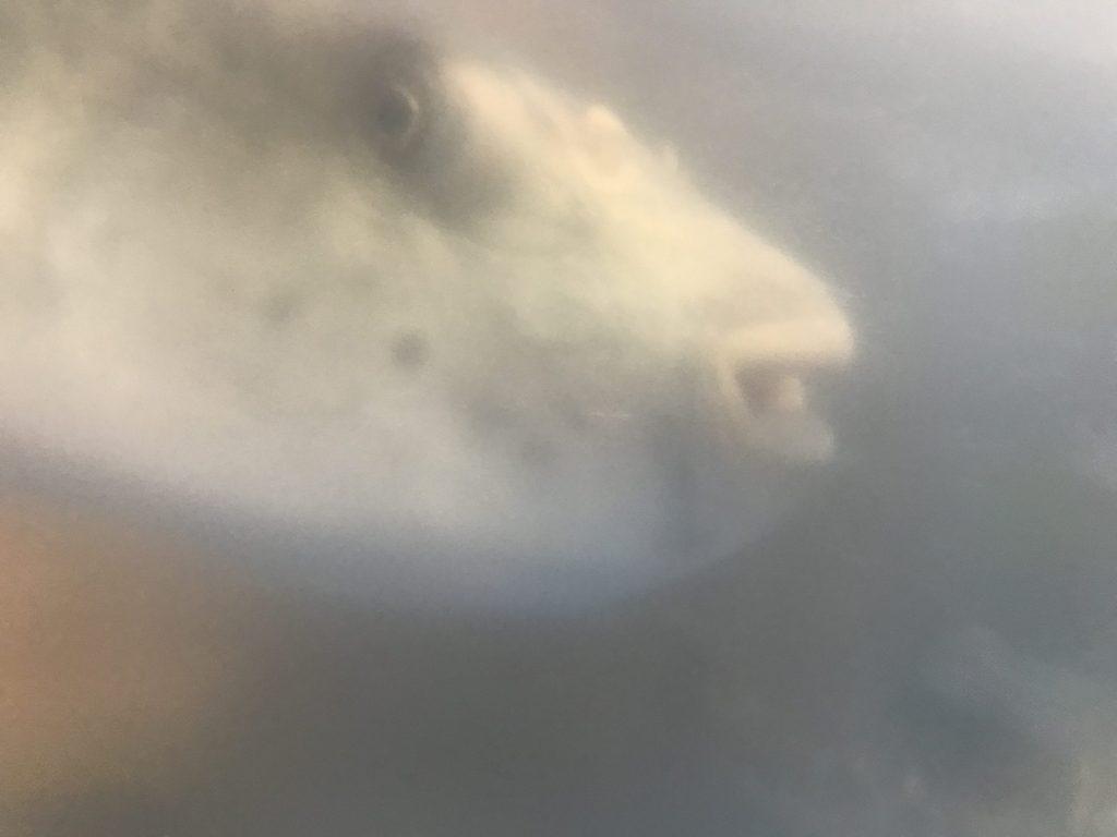 水槽の中のフグ