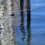神田川に浮かぶ鳥