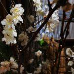 目を奪う美しさの梅の花